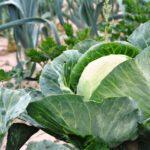 Dostatek čerstvé zeleniny na podzim? Zkuste druhý výsev s pomocí zakrývacích textilií!